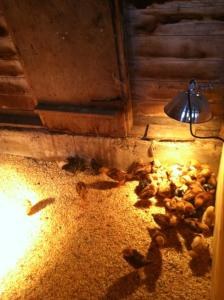 Babies in their coop.